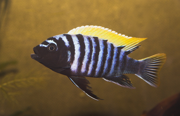 "Cyphotilapia afra ""Red Dorsal"""