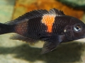 Tropheus sp. black Bulu Point